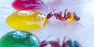 Tasting The Rainbow: The Ants Whose Multi-coloured Abdomens Show Exactly What They've Been Eating