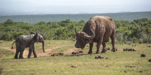 A Young Elephant Calf vs Buffalo Bull in South Africa