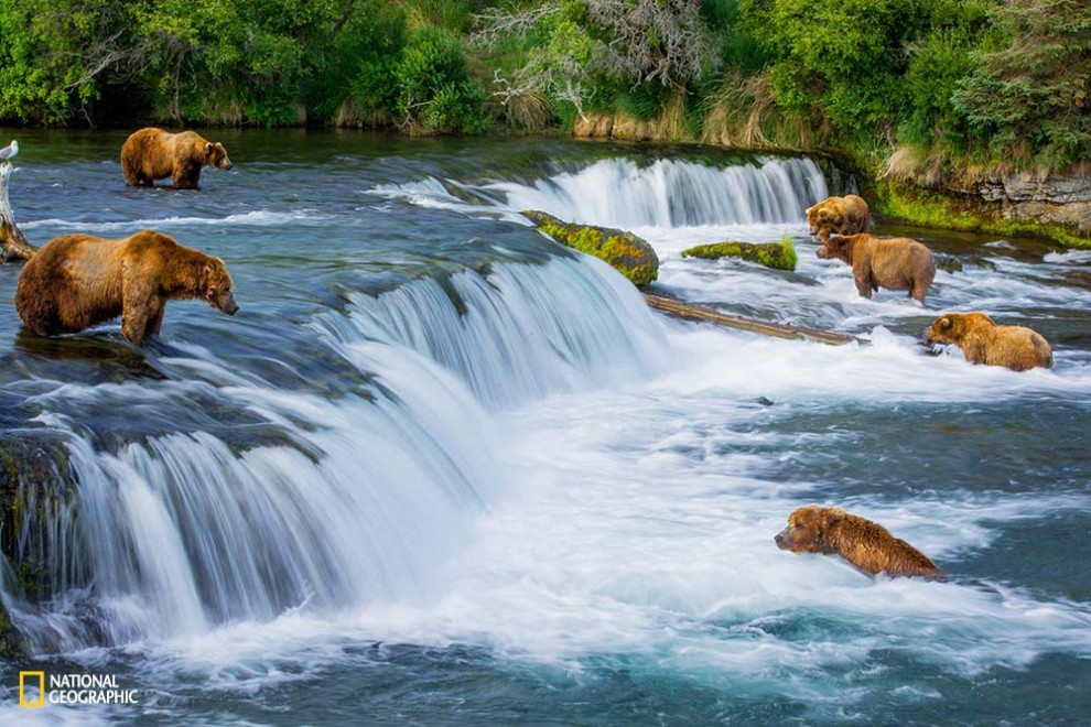 I've loved watching wildlife documentaries since I was a kid. One of nature's wonders that fascinated me the most was the annual return of Salmon to their birthplace for spawning...and the bears that live off of this phenomenon. To be able to see it happen in real life was just completely magical and struck a chord deep within. There were about 12 bears at the falls, but 6 that dominated the prime spots. It was peaceful between the bears as there was plenty of salmon to go around!