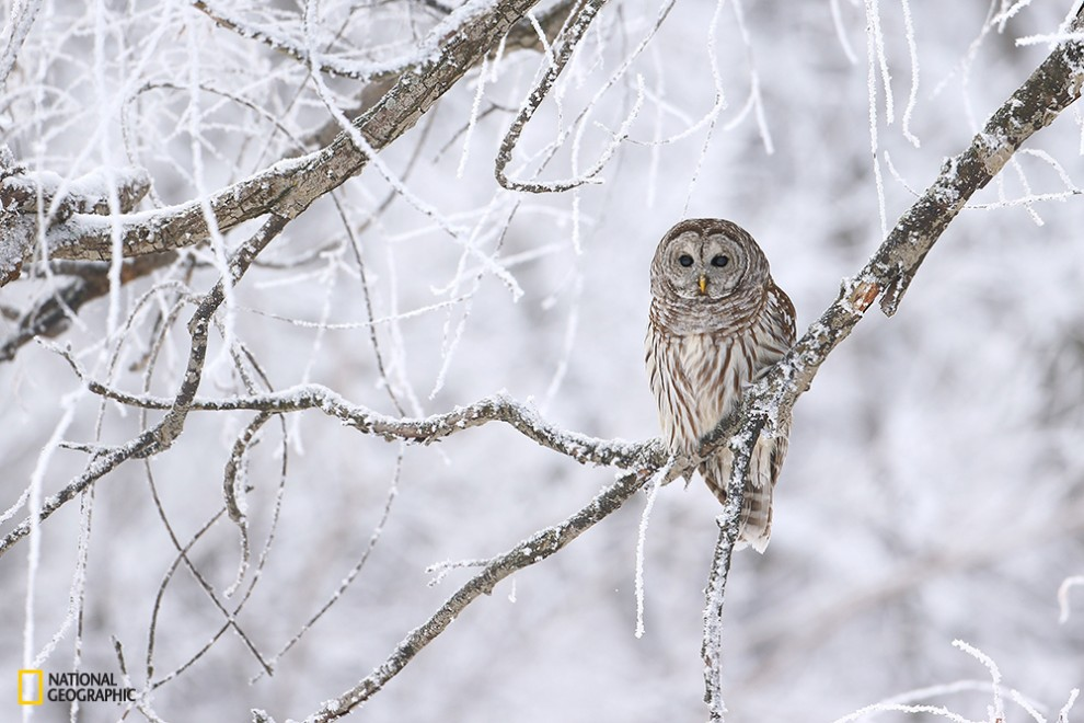 A lined owl which watches the field attentively.