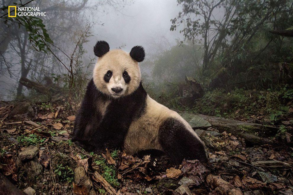Rewilding-pandas-NGM_082016_MM8391_Logo_001