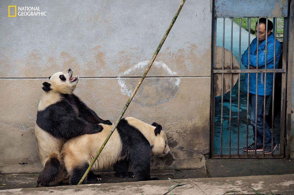 Rewilding-pandas-NGM_082016_MM8391_Logo_004
