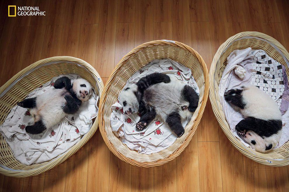 Rewilding-pandas-NGM_082016_MM8391_Logo_006