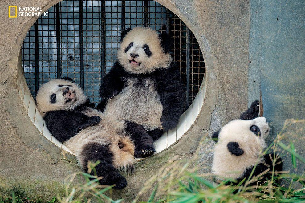 Rewilding-pandas-NGM_082016_MM8391_Logo_008