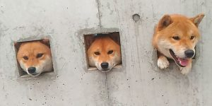 "Japan Now Sells ""Shiba Inu Stuck In Wall"" Toys"