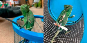 Chameleons Will Hold Anything You Give Them, and They Look Like Tiny Old Men!