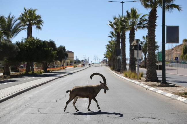 Nubian Ibex Make the Most of Lockdown in Israel