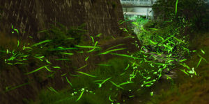 Japanese Photographer Captures Breathtaking Shots of Shrine in A Swirling Sea of Fireflies